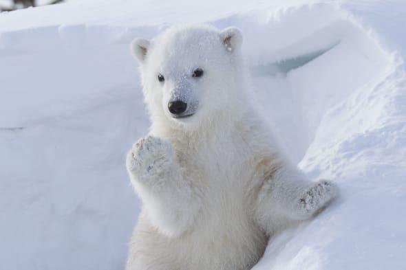 Polar bear bub waves at photographer