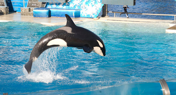 Killer whales performing tricks at marine theme parks
