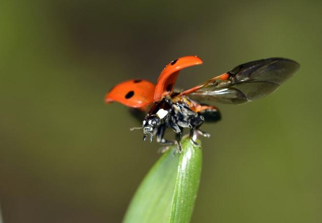 European Seven Spot Ladybird -Coccinella septempunctata- starting to fly, Stuttgart, Baden-Wurttemberg, Germany