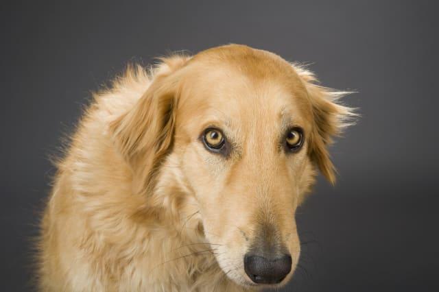 Collie-Golden Retriever cross breed dog.