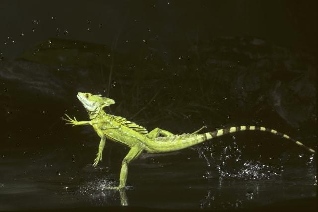 Green Basilisk (Basiliscus plumifrons) running on water, Costa Rica.