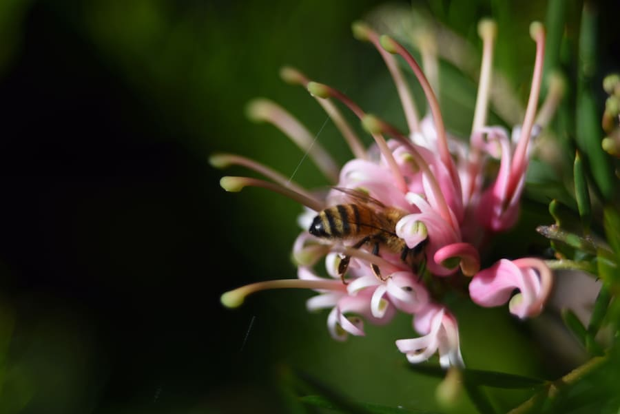 Honey bees in Australia present a sort of safe island in the world, as they are not affected by a disastrous