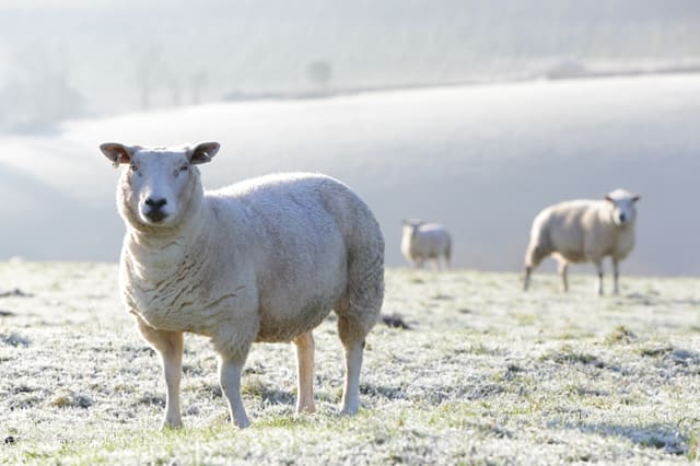 Sheep in a field, morning frost .