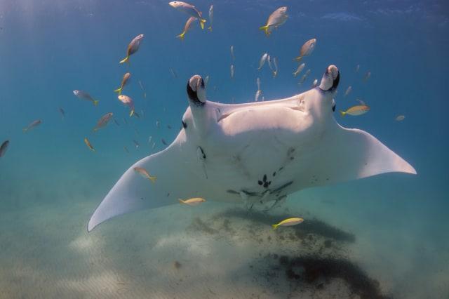 Manta ray, Ningaloo Reef