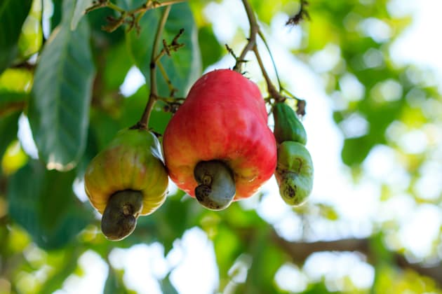 Cashew nuts growing on a