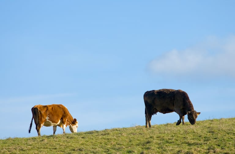 Cows Grazing , Cotswolds, UK