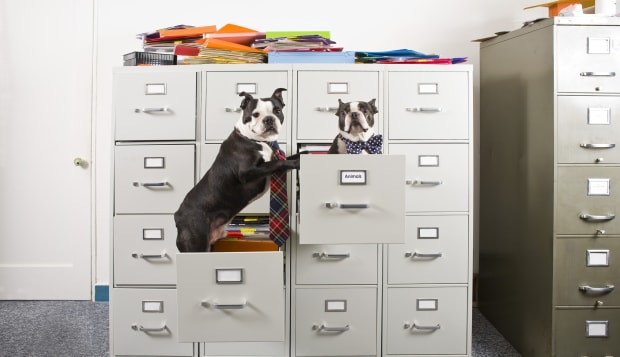 Two Boston Terriers in drawers of file cabinet