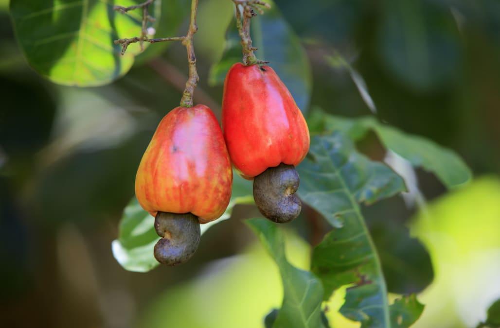 Cashew fruit hanging on tree, close-up.