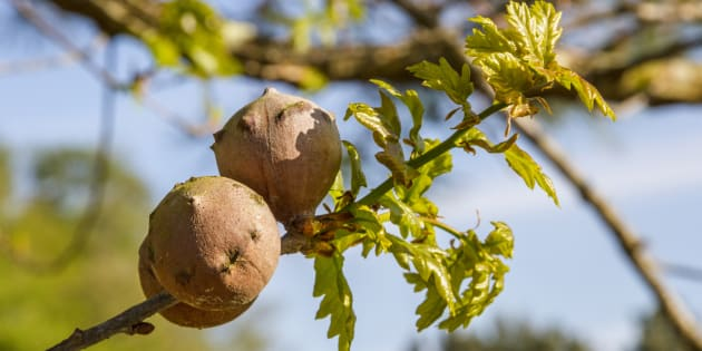 Oak galls are caused by a parasitic