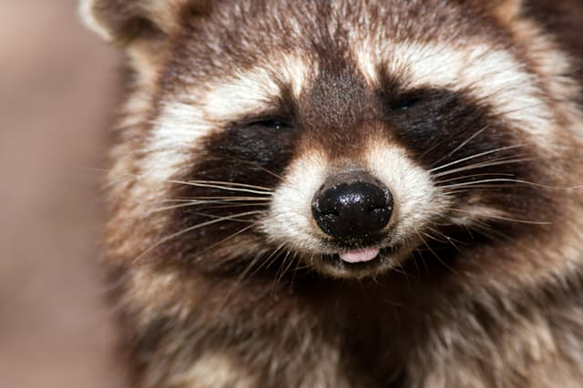 portrait of a cheeky raccoon ...