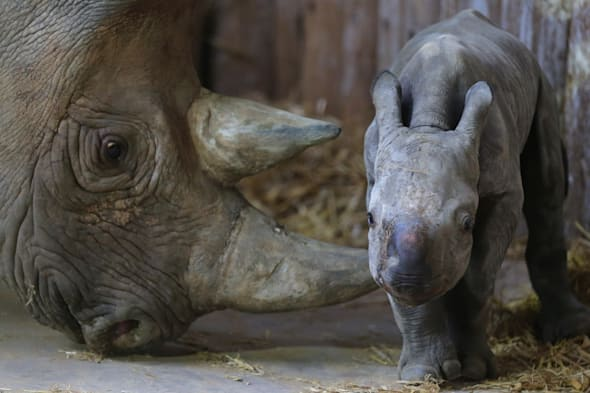 Chester Zoo rhino born