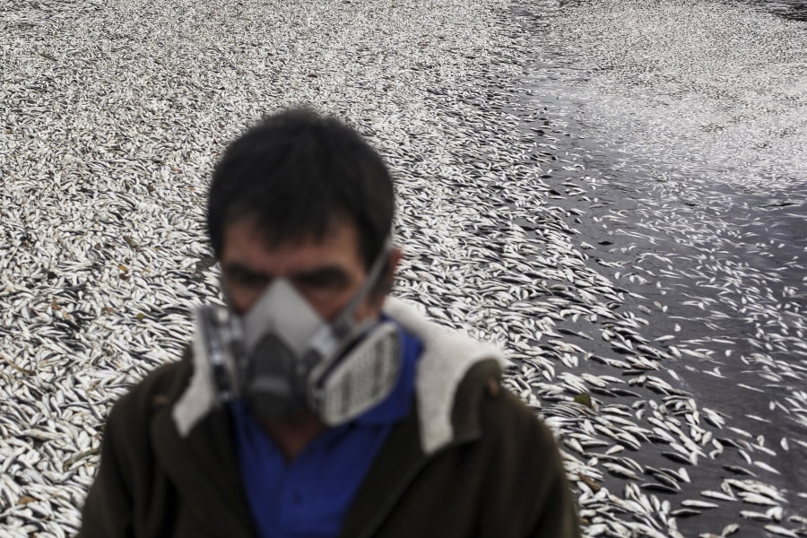 Dead sardines wash ashore in Chile as a 'red tide' algae bloom creates a toxin that paralyzes the central...