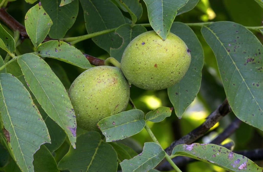 English Walnut (Juglans regia) near Lawrence, Kansas.