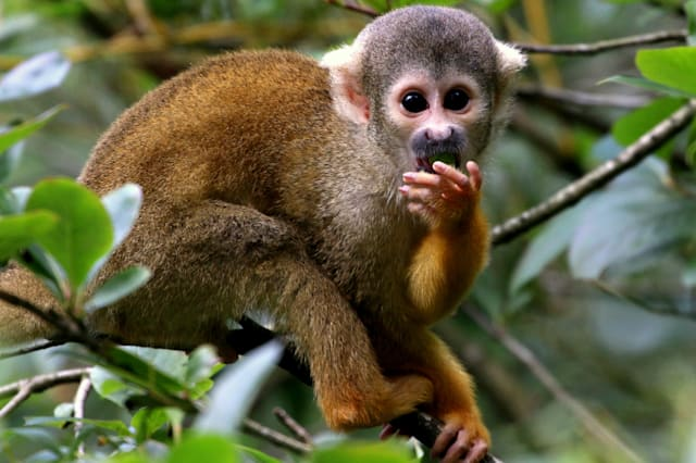 Black Capped Squirrel Monkey Portrait