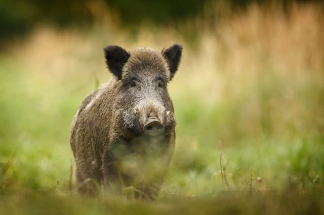Wild boar attacks dog in Forest of Dean - AOL