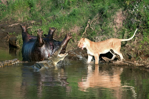 **ONLINE EMBARGO UNTIL 00:01 MONDAY 24TH MARCH 2014**MANDATORY BYLINE** PIC BY RICHARD CHEW/CATERS - These photographs show the food chain in action as a hungry lion braved a river full of crocodiles to try and sink his teeth into a dead hippo. The photos were taken in the Maasi Mara nature reserve, in Kenya and show hungry lion braving a crocodile-infested river to get to an upside down hippo, which had died overnight of natural causes. The incident was witnessed and captured on camera by Richard Chew, an IT manager from San Francisco, USA who was on holiday with his wife. Semi- professional photographer Richard has travelled the world taking pictures but said it was a really unique moment. SEE CATERS COPY