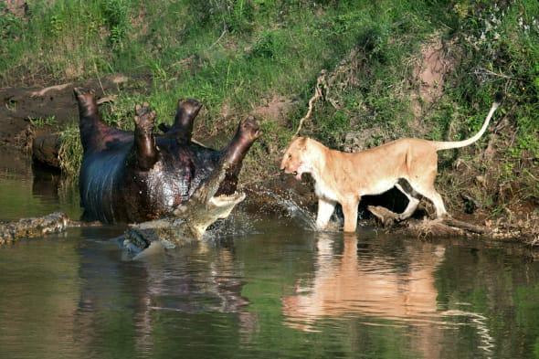 lion fights with crocodiles over dead hippo photos aol