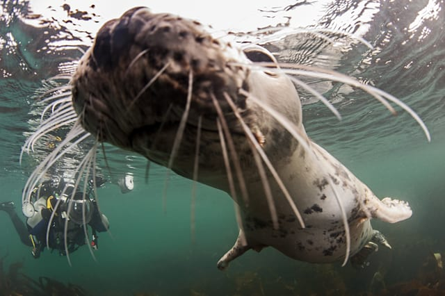 FARNE ISLANDS, UNITED KINGDOM - AUGUST: A young grey seal nears close to the camera, in August, 2014, in the Farne Islands, England.SEALED with a KISS! A group of young seals delighted divers with their amorous behaviour. The grey seals were in a playful mood as they dove with married photographers Caroline and Nick Robertson-Brown.The British pair organise trips near the Puffin Islands in Anglesey and Farne Islands in Northumberland under the name Frogfish Photography. Nick is running in the general election for the Altrincham and Sale West constituency for the Green Party to raise awareness of the need for marine conservation zones.PHOTOGRAPH BY Frogfish Photography / Barcroft MediaUK Office, London.T +44 845 370 2233W www.barcroftmedia.comUSA Office, New York City.T +1 212 796 2458W www.barcroftusa.comIndian Office, Delhi.T +91 11 4053 2429W www.barcroftindia.com