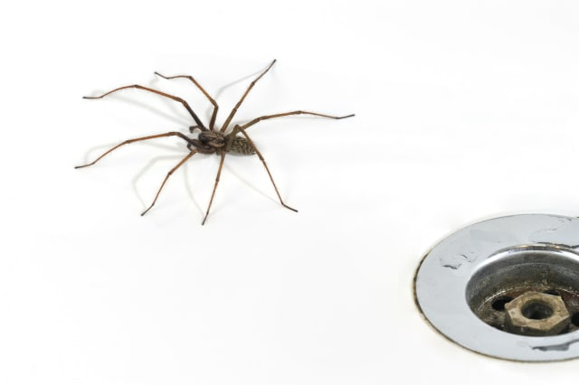 Giant house spiders invade as mating season begins