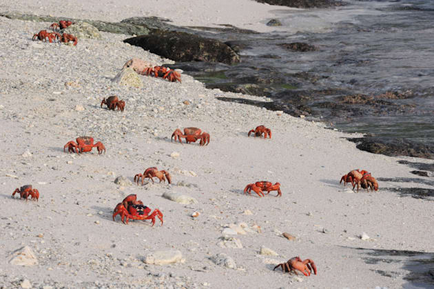 The annual red crab migration on Christmas