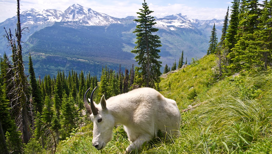 Mountain Goat on side of mountain in Glacier National Park, Montana, United States.