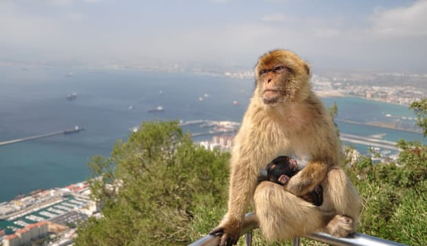 Barbary Macaque on the Rock Of Gibraltar