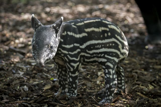 Adorable baby tapir takes its first steps at Edinburgh Zoo