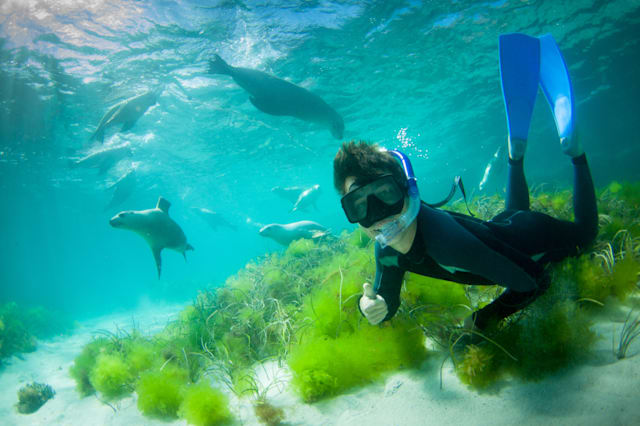Swimming with wild sealions, South Australia