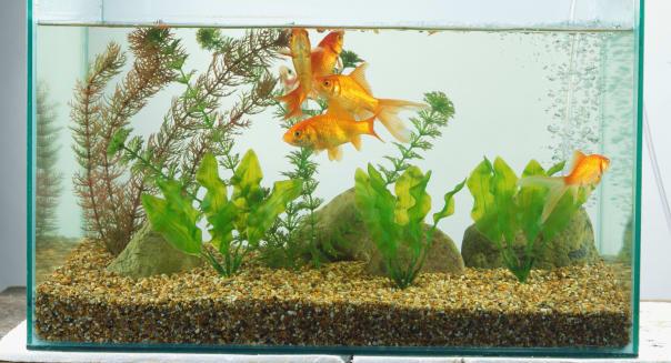 Goldfish in a small glass aquarium.