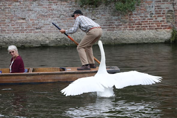 Swan attacks tourists in Cambridge