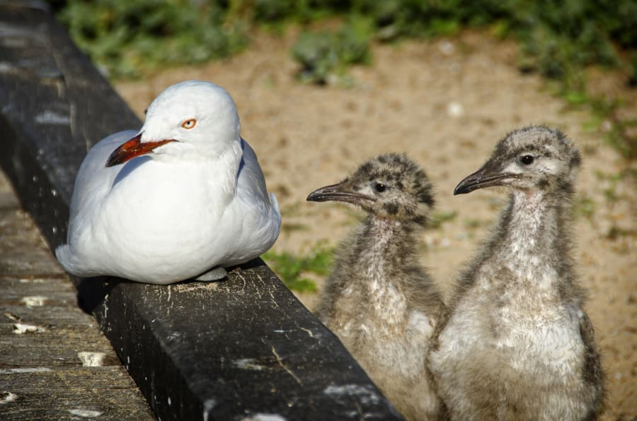 To be honest, this is not how we expected baby seagulls to look