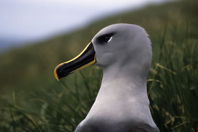 Pieces of plastic from a helium balloon were found inside a grey-headed albatross on Fraser