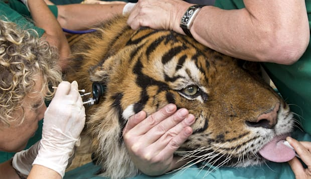 ISRAEL-ANIMAL-ZOO-TIGER-ACUPUNCTURE