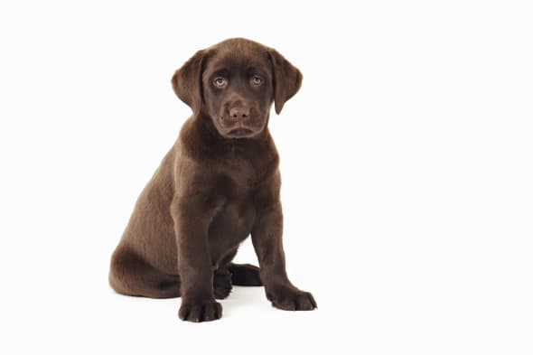 Chocolate Labrador Retriever puppy