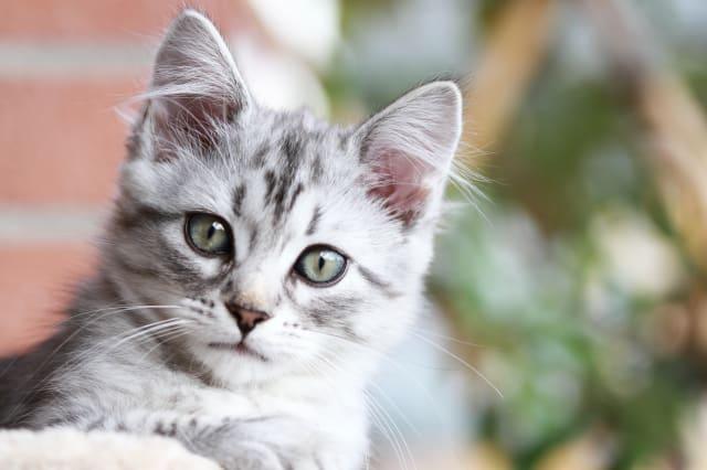 female kitten of siberian cat ...