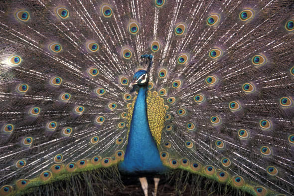 A male peacock spreads its tail feathers.