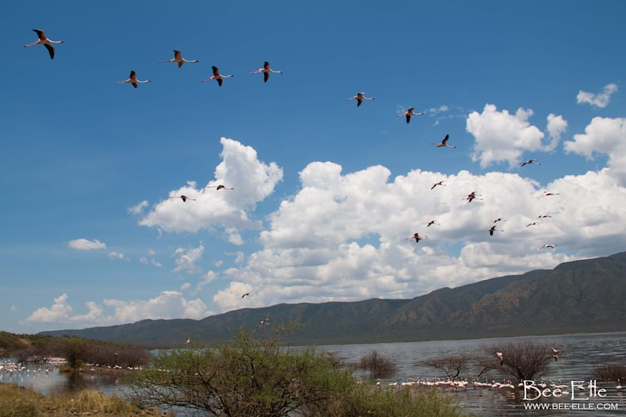 When water levels change, the lesser flamingo's food supply becomes low and flocks will move between...