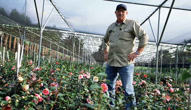 Man growing camellia flowers