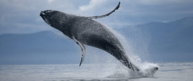 USA, Alaska, Tongass National Forest, Humpback Whale (Megaptera novaengliae) breaching in Frederick Sound