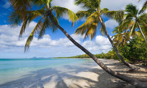 Palm trees overhang the beach at Grand Anse des Salines, Martinique, Windward Islands, Caribbean
