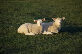 AGRICULTURE, Farming, SheepTwo Young lambs lying in a field.David Cumming / Eye Ubiquitous ...