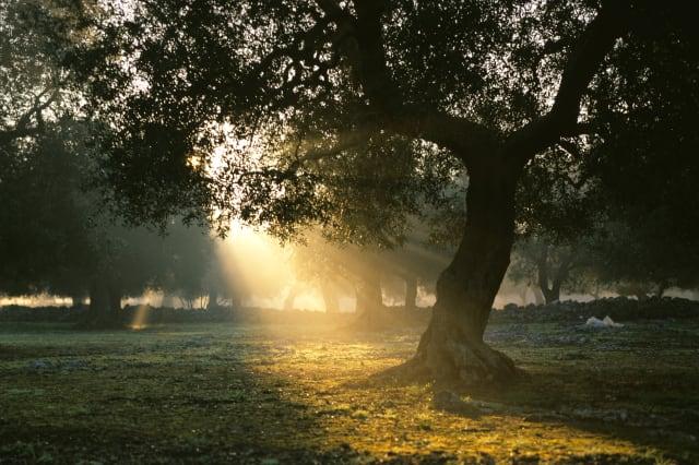 Olive tree in sunrise, Italy