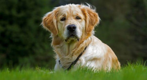 Golden retriever (Canis lupus familiaris) dog lying on lawn in garden