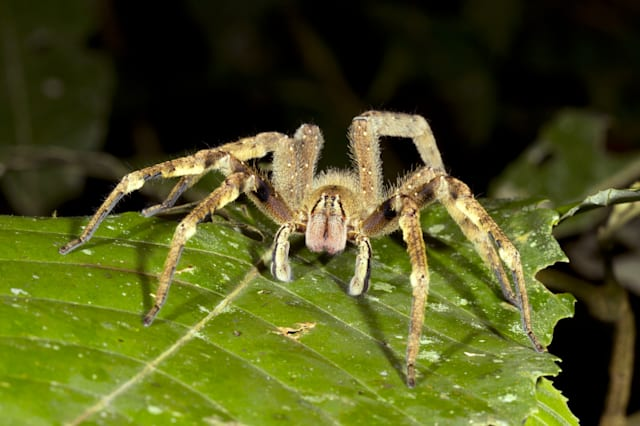 venomous wandering spider ...