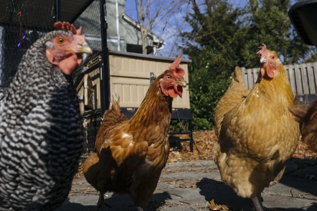 """These aren't Peter's chickens but they're very handsome (should that be """"hensome""""?) so we henbedded..."""