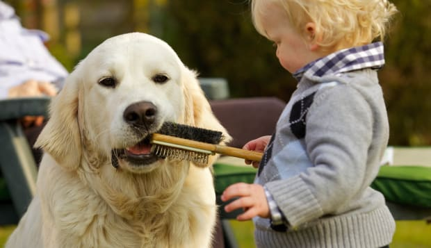 Little boy letting golden retriever chew a brush