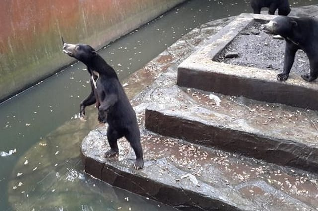 Shocking footage shows starving bears at Indonesian zoo