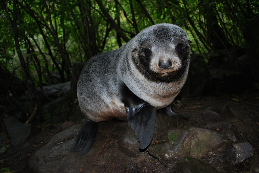 A New Zealand Fur Seal Pup at Ohau Stream, Kaikoura, New
