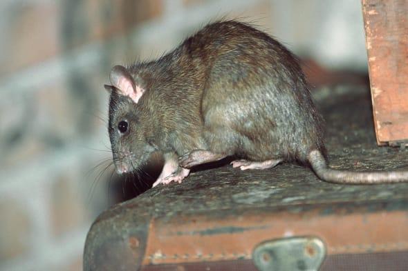 black rat, roof rat, house rat, ship rat (Rattus rattus), on an old suitcase