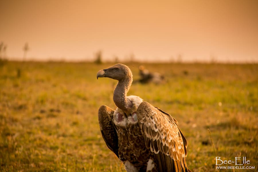 The vulture is one of the most threatened bird groups in the
